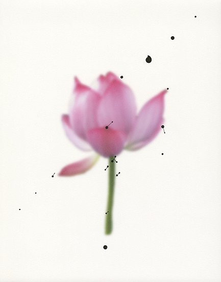 Shen Wei ©, Untiteld (Crying Lotus), 2013, Ink on Archival Inkjetprint, 11 x 14 inches